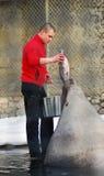 Um leão de mar de alimentação do homem com um peixe grande Fotografia de Stock
