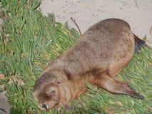 Um leão de mar do bebê Foto de Stock