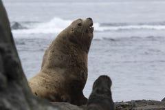 Um leão de mar masculino de Steller que senta-se no Sandy Beach em um dia de verão Fotos de Stock Royalty Free