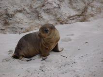 Um leão de mar novo Fotografia de Stock