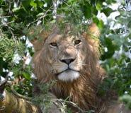 Um leão descansa durante o dia, dormindo em uma árvore em Uganda Foto de Stock Royalty Free