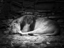 Um leão do sono Imagens de Stock