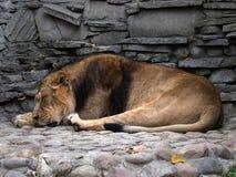 Um leão do sono Fotografia de Stock