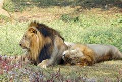 Um leão dois que toma o resto no meio-dia Fotografia de Stock Royalty Free