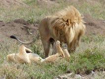 Um leão e uma leoa no amor Fotos de Stock