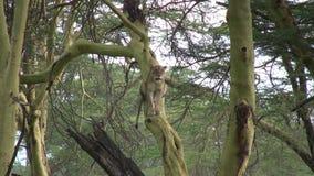 Um leão em uma árvore vídeos de arquivo