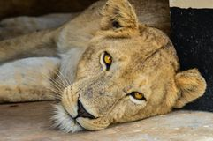Um leão fêmea que olha fixamente diretamente em você fotografia de stock royalty free