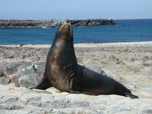 Um leão-marinho de Galápagos Foto de Stock Royalty Free