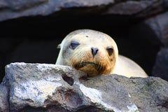 Um leão-marinho que relaxa fotos de stock