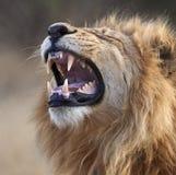Um leão masculino - Botswana Fotografia de Stock Royalty Free