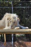 Um leão masculino branco encontra-se para baixo em uma plataforma de madeira Fotos de Stock Royalty Free