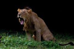 Um leão no fundo preto Fotos de Stock Royalty Free