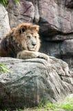 Um leão olhar fixamente Imagens de Stock