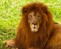 Um leão poderoso que olha o Fotos de Stock Royalty Free