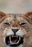 Um leão que ruje Imagens de Stock Royalty Free