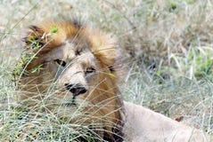 Um leão, sentando-se na grama fotos de stock royalty free