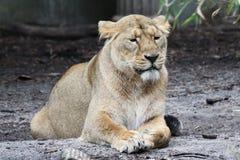 Leão imagem de stock royalty free