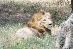 Um le?o, sentando-se na grama foto de stock
