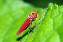 Um leafhopper alaranjado Fotografia de Stock