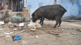 Um leitão está comendo sucatas no lixo nos precários da cidade de Agra India filme