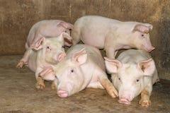 Um leitão pequeno na exploração agrícola grupo de alimentação de espera do mamífero suínos na tenda imagens de stock