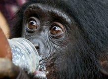 Um leite bebendo do Bonobo do bebê de uma garrafa Republic Of The Congo Democratic Parque nacional do BONOBO de Lola Ya Foto de Stock Royalty Free