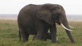 Um leite bebendo dos elefantes do bebê de ambos os bicos da mamãe vídeos de arquivo