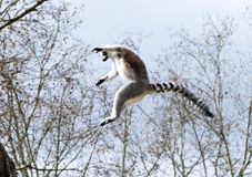 Um lemur ring-tailed Imagens de Stock