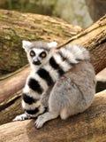 Um lemur ring-tailed está sentando-se em um tronco de árvore Foto de Stock Royalty Free
