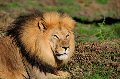 Um leão masculino de Kalahari, Panthera leo Fotografia de Stock Royalty Free