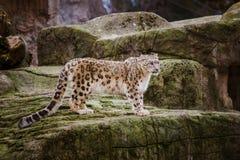Um leopardo de neve adulto está em uma borda rochoso no jardim zoológico de Basileia em Suíça Tempo nebuloso no inverno imagens de stock royalty free