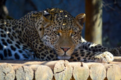 Um leopardo descansa na máscara Fotografia de Stock
