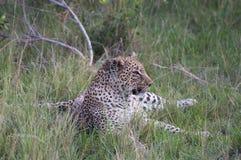 Um leopardo Lounging Imagens de Stock