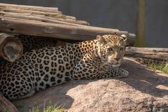 Um leopardo, pardus do Panthera, no captiveiro Fotos de Stock