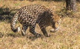 Um leopardo solitário no arbusto africano fotos de stock royalty free