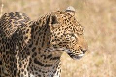 Um leopardo solitário no arbusto africano imagens de stock royalty free