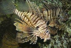 Um Lionfish Venomous, Pterois, com suas aletas Spiky fotografia de stock royalty free
