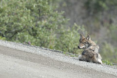 Um lobo cinzento Fotografia de Stock