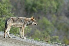 Um lobo cinzento que olha o Imagem de Stock Royalty Free