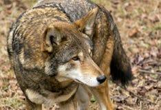 Um lobo de espera Imagens de Stock