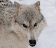 Um lobo de madeira que olha fixamente diretamente em minha câmera imagem de stock