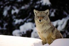 Um lobo do inverno senta-se sobre uma tração da neve Fotos de Stock Royalty Free