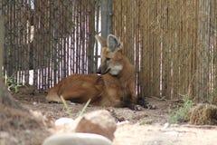 Um lobo maned coloca pelo canto de uma cerca Imagem de Stock
