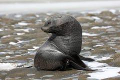 Um lobo-marinho novo na planície de Salisbúria em Geórgia sul fotografia de stock royalty free