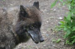 Um lobo no ar livre Fotos de Stock Royalty Free
