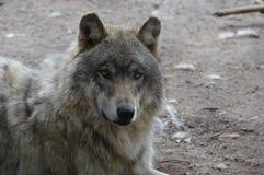 Um lobo no ar livre Fotografia de Stock