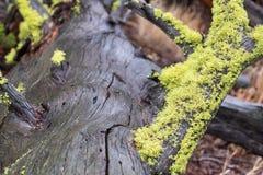 Um log molhado com Moss Just After verde-claro uma chuva foto de stock royalty free