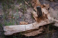 Um log sem casca velho foi corroído por besouros de casca Ornamento original da estrutura de árvore no log imagem de stock