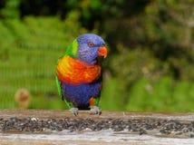 Um lorikeet colorido do arco-íris Imagem de Stock