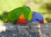 Um lorikeet colorido do arco-íris Fotos de Stock Royalty Free